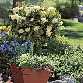 White Licorice™ 24-Inch Patio Tree Rose