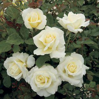 White Licorice™ 24-Inch Tree Rose Image