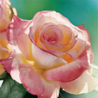 Elegant Lady 36-Inch Tree Rose Image
