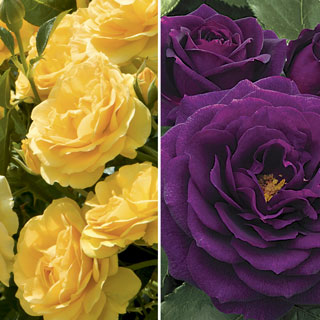 Ebb Tide™ & Julia Child 36-Inch Tree Rose Image