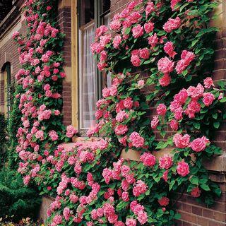 'Zephirine Drouhin' Climbing Rose