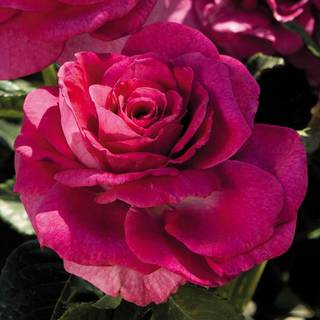 'Sweet Intoxication' Floribunda Rose