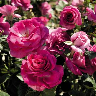 Sweet Intoxication Floribunda Rose Image