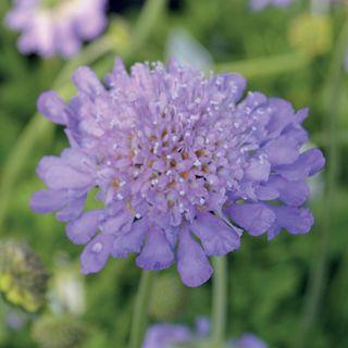 Butterfly Blue Pincushion Flower