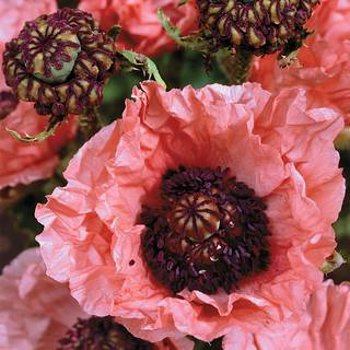 Double Pleasure Oriental Poppy Image