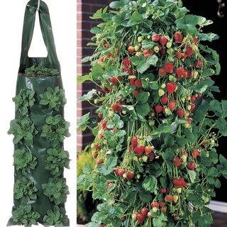 Whopper Strawberry Plants & 2 Growin' Bags