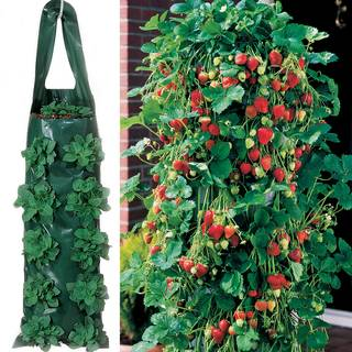 Whopper Strawberry Plants & 2 Growin' Bags