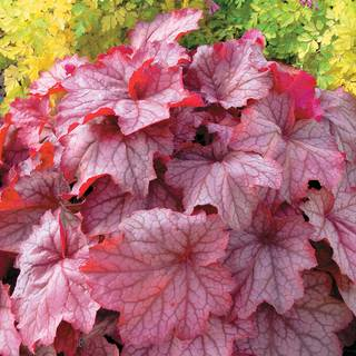 Heuchera 'Georgia Peach' Image