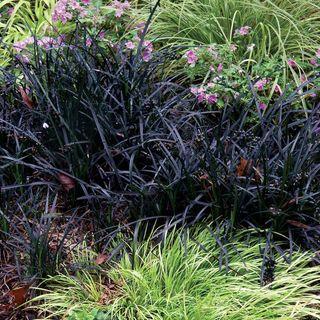 'Nigrescens' Mondo Grass
