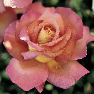 'Chicago Peace' Hybrid Tea Rose