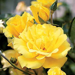 'Golden Showers' Climbing Rose