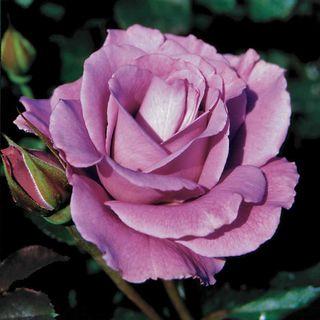 Angel Face Floribunda Rose Image