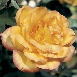 'Gold Medal' Grandiflora Rose