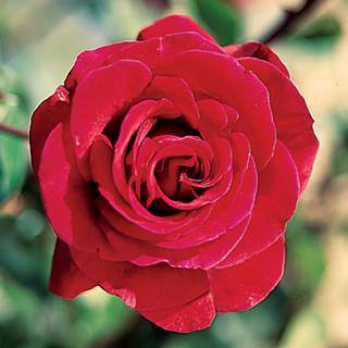 Don Juan Climbing Rose Image