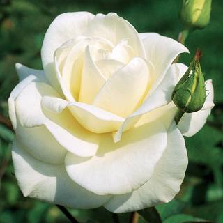 'John F. Kennedy' Hybrid Tea Rose