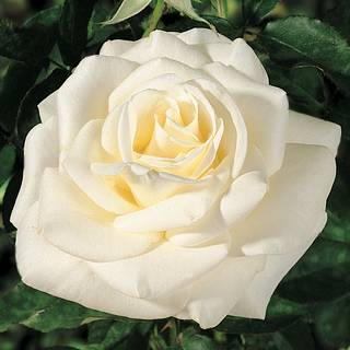 John F. Kennedy Hybrid Tea Rose Image