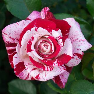 Scentimental Floribunda Rose Image