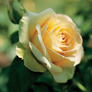 St. Patrick Hybrid Tea Rose Image