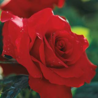 Opening Night™ Hybrid Tea Rose Image