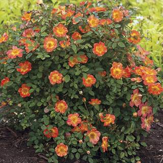 Oso Easy® Paprika Shrub Rose Image