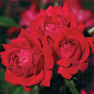 Red Double Knock Out® Shrub Rose Image