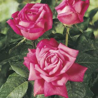 Perfume Delight Dark Pink Rose