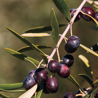 Olive 'Arbequina' Tree