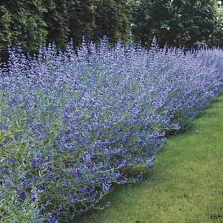 Caryopteris 'Longwood Blue'
