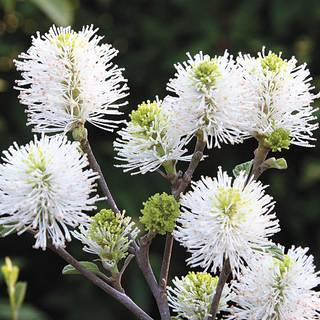 'Mount Airy' Fothergilla