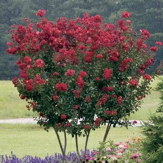 Red Rocket® Crape Myrtle Image