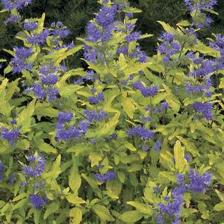 Caryopteris Little Miss Sunshine®