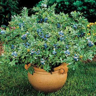 'Sunshine Blue' Dwarf Blueberry