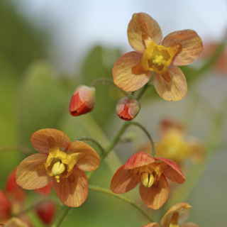 Epimedium 'Orange Queen' Image