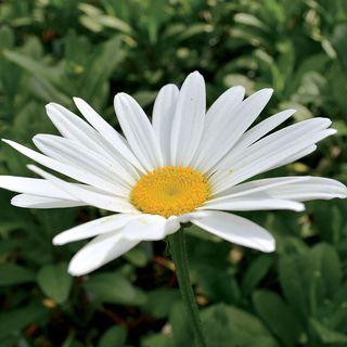 Leucanthemum 'Becky' Image