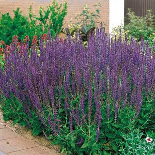 Salvia 'East Friesland' Image