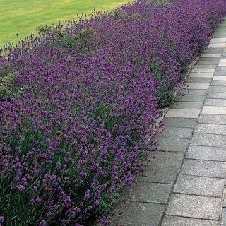 'Munstead' Lavender Image