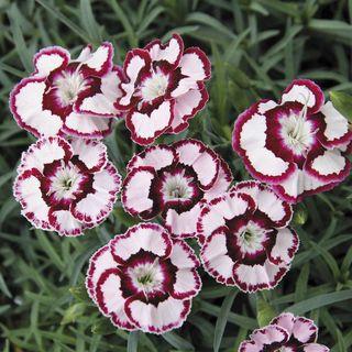 Dianthus 'Raspberry Swirl' Image
