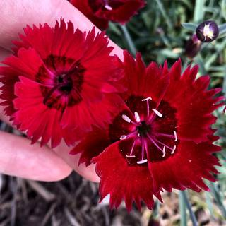 Dianthus SINGLE STAR™ Fire Star Improved Image