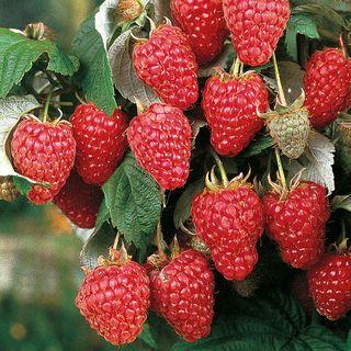 Rubus 'Heritage' Image