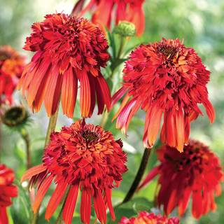 Echinacea Cone-Fections™ 'Hot Papaya'