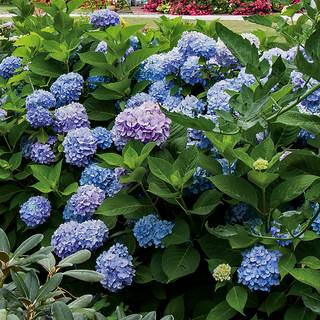 Hydrangea 'All Summer Beauty' Image