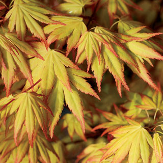 'Orange Dream' Japanese Maple
