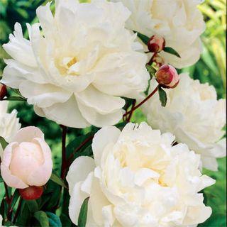 Paeonia 'Gardenia' Image