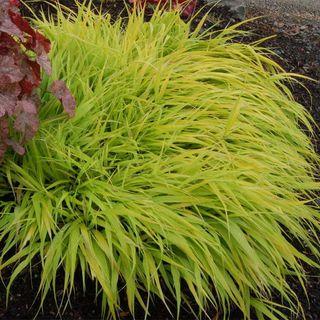 All Gold Golden Hakone Grass