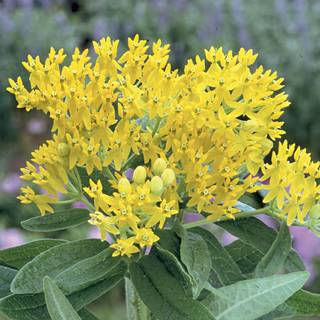 Hello Yellow Butterfly Flower