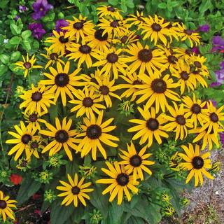 Rudbeckia 'Little Goldstar' Image
