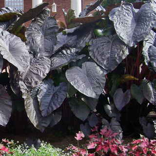 Colocasia 'Diamond Head'