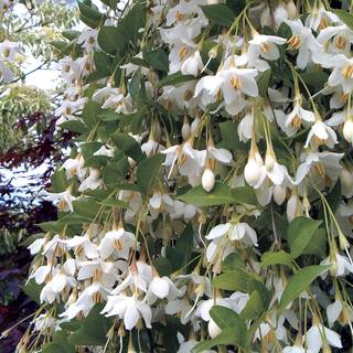 Styrax 'Fragrant Fountain' Image