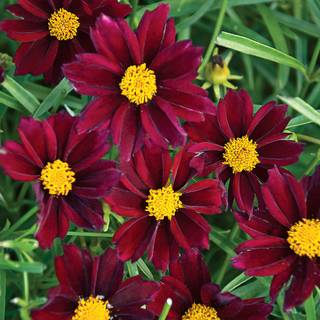Coreopsis Big Bang™ 'Mercury Rising'