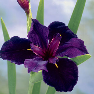 Iris 'Black Gamecock'